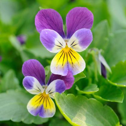 Ab März, sobald es frostfrei ist, kannst Du die wilden Stiefmütterchen pflanzen.