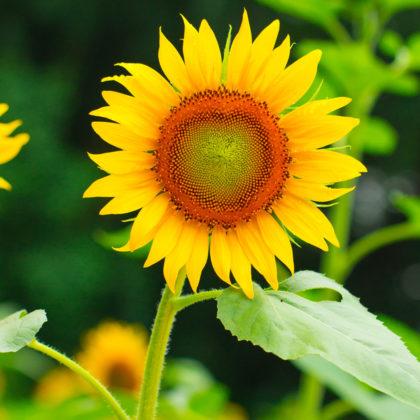 Setze die im Frühjahr vorgezogenen Sonnenblumen ab Mai in den Garten.