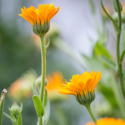 Ringelblumen säst Du nach dem letzten Frost aus, frühestens im April.