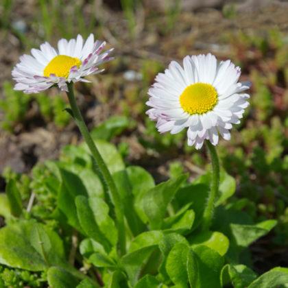Gänseblümchen trotzen auch Nachtfrösten und können ab März gepflanzt werden.