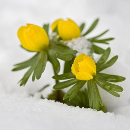 Im Herbst kommen die Knollen des gelben Winterlings in die Erde.